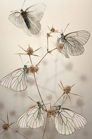 White Butterflies iphone wallpaper